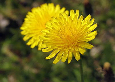 Gordon Rumford Ministries | Daily Devotional | Of Dandelions And Things